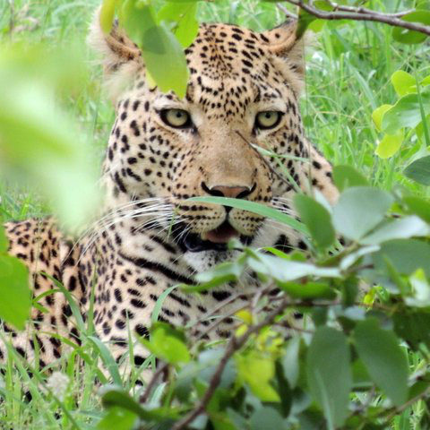 Photo of a leopard in a game reserve.