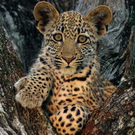 Photo of a baby leopard