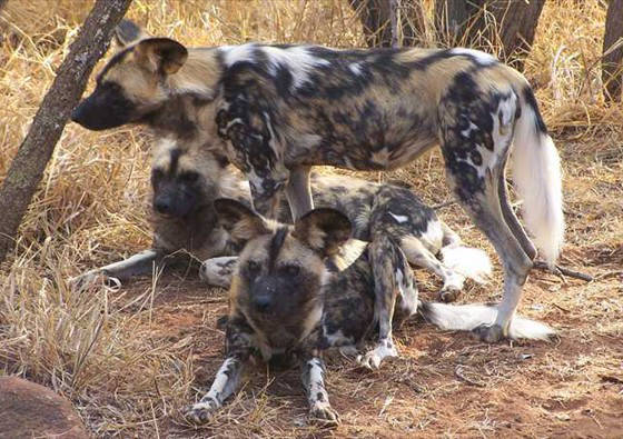 Photo of wilddogs